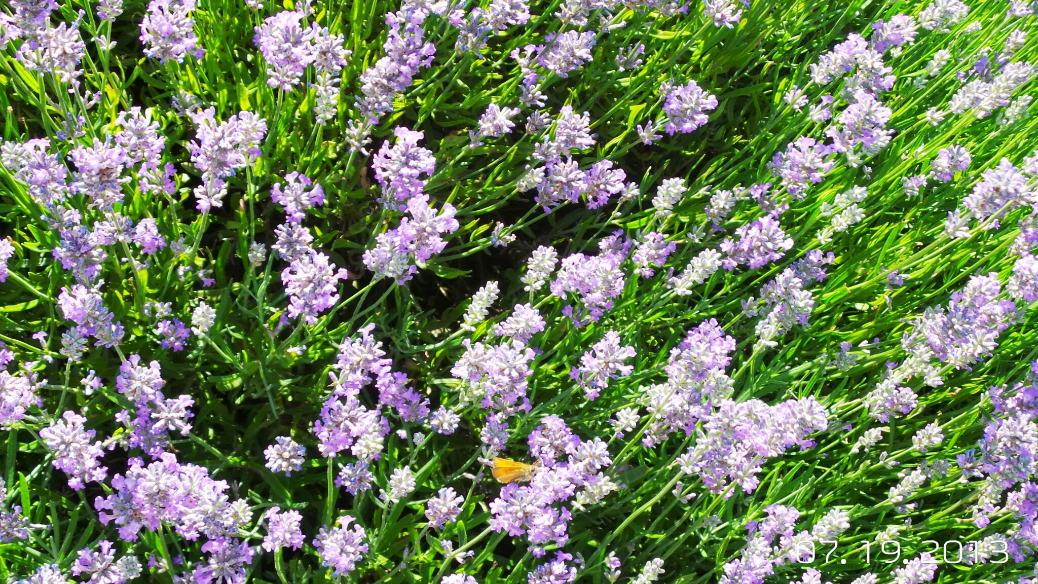 Lavender and Butterfly at Sudeley Castle